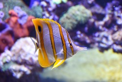 The Copperband Butterflyfish, also known as the Beaked Butterflyfish, Beaked Coralfish or Orange Stripe Butterfly: yellow - orange, white and black fish