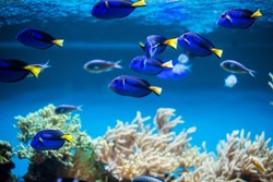 The coral reef fishes in aquarium environment