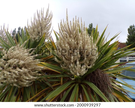 the Cordyline australis Cabbage Tree  with white spike flowers. Floral background  Stockfoto ©