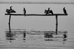 The cormorans settle on logs in the middle of the lake
