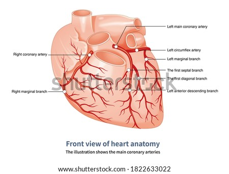 The coronary arteries are divided into the left coronary artery and the right coronary artery system. Сток-фото ©