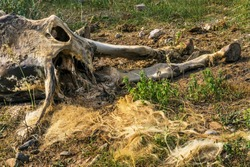 The corpse of a horse in the wild. The body of a dead horse on the ground in the grass. The corpse of a horse decays. Cadaverous spots on the skin. Skeleton of a horse. Bones, hair next to the corpse
