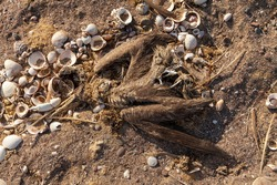 The corpse of some species of gannet or marine bird, dead, surrounded by old shells, near Playa Roja, on the Lagunillas Route, in the Paracas National Reserve, Pisco, Ica, Peru.