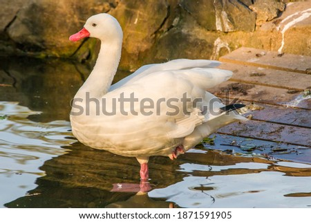 """Photo of  The coscoroba swan (Coscoroba coscoroba) is a species of waterfowl endemic to southern South America. It is the smallest of the birds called """"swans"""", but still a large species of waterfowl."""