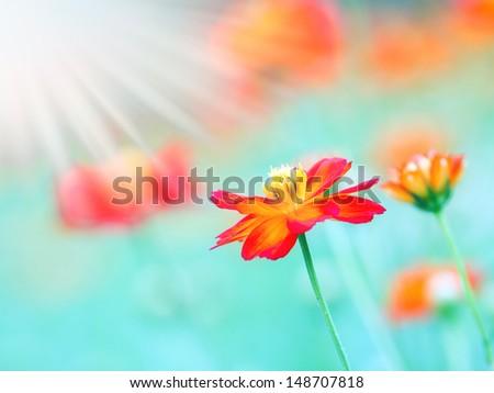 The Cosmos Flower  - stock photo