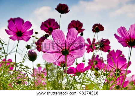 The Cosmos Flower #98274518