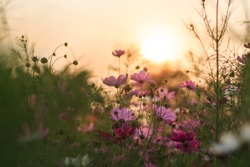 The cosmos flower garden at sunset has an orange background.