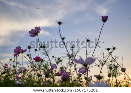 The cosmos flowers in the cosmos field at Jechun, South Korea.