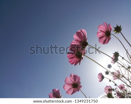 The cosmos which blooms in a cosmos field