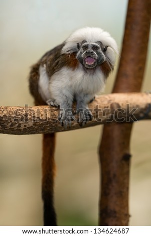 The cotton-top tamarin (Saguinus oedipus) is one of the world\'s smallest primates. This monkey weighs less than one pound.