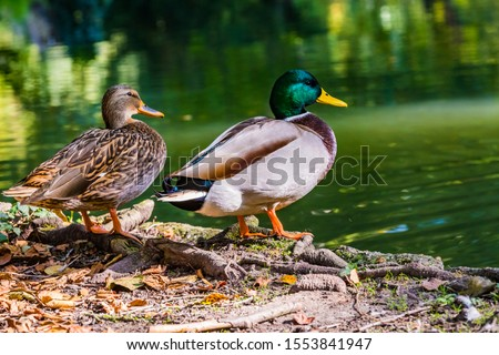 Photo of  The couple of mallard Anas platyrhynchos dabbling duck waterfowl birds. Closeup of a female and male drake mallard duck in a pond or river coast.