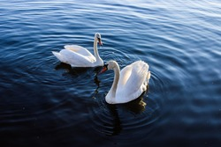 The couple of swans on blue water