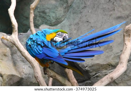 The court parrot, beautiful parrot, colorful parrot, court parrot, bright blue-yellow parrot (macaw, are ararauna, south american parrot) sitting on a branch and cleans feathers