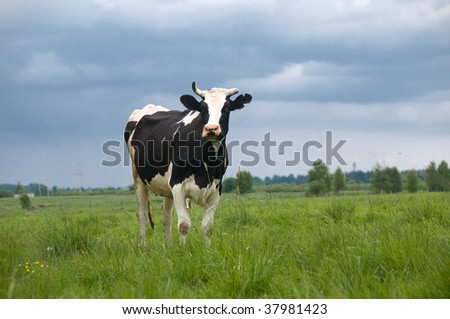 The cow in cloudy weather walks on a meadow