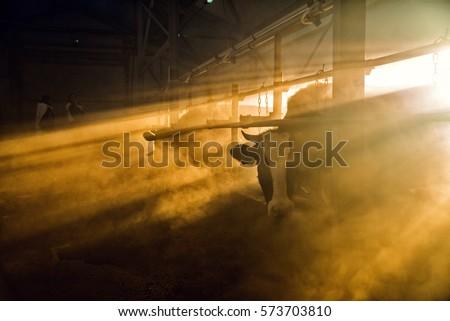 The cow in the barn, cattle, farm, fog #573703810