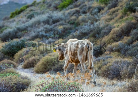 The cows graze in mountains. Southern Greece Peloponnese, Mani Peninsula.