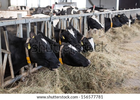 The cows in the stable at dairy farm peek through fences and eating straw