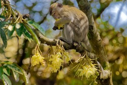 The crab-eating macaque (Macaca fascicularis), also known as the long-tailed macaque, is a cercopithecine primate native to Southeast Asia. It is referred to as the cynomolgus monkey in laboratories.