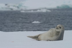 The crabeater seal (Lobodon carcinophaga), also known as the krill-eater seal.