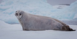 The crabeater seal Lobodon carcinophaga , also known as the krill-eater seal, is a true seal lying on the iceberg in Antarctic peninsula.