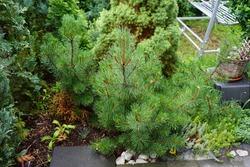 The creeping pine, Pinus mugo