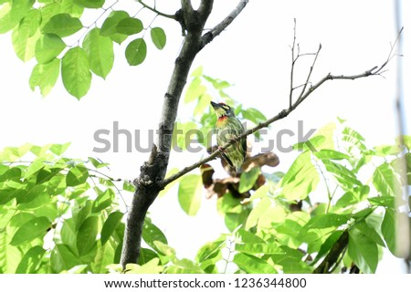 The crimson - breasted barbet with crimson forhead and throat and metronomic call. #1236344800