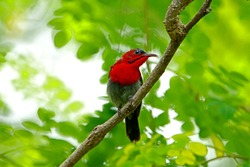 The Crimson Sunbird on branch in nature