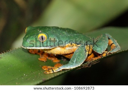 The critically endangered and rarely seen Splendid Leaf Frog of Central and South America, Cruziohyla calcarifer