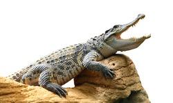 The Crocodile.