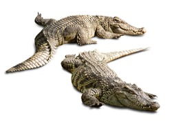 The crocodile in Thailand Zoo cut to isolated paste on white background and clipping path for your designs. Concept animal and the zoo.