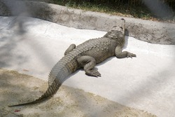 The crocodile is one of the most impressive reptiles in nature, many of them are taken from their habitat to be conserved in zoos