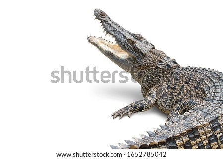 The crocodile is opening its mouth and waiting for its prey Seen inside the mouth and sharp teeth. The saltwater crocodile on a white background soared horribly. Clipping path.
