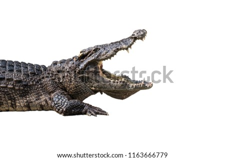 The crocodile is opening its mouth at the crocodile farm in Thailand Zoo. Amphibian fierce eyes In water White backdrop