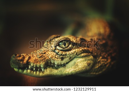 the crocodile's eyes looking directly at the camera.crocodile looks directly into the camera.crocodile smiles and shows her teeth. close-up photo of crocodile's eyes