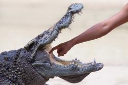 The crocodile show in Thailand