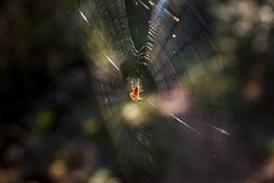 The cross spider, also called european garden spider, diadem spider or pumpkin spider in Cobweb