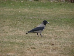The crow crows , Crowing The black Crow cawing Crow in the park it's called Grey , Hooded crow . Bird in the city the black bird