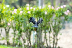 The crow flying and hold the branches in the mouth and orange leaves on the legs to build a nest.