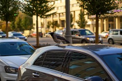 The crow is sitting in the car. City birds live among people. Animals spoil cars and prevent people from living. There is no nature for birds. High quality photo