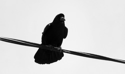 The crow is sitting on an electric wire. Silhouette of a black crow rook. Urban birds are pests. Birds are scavengers.
