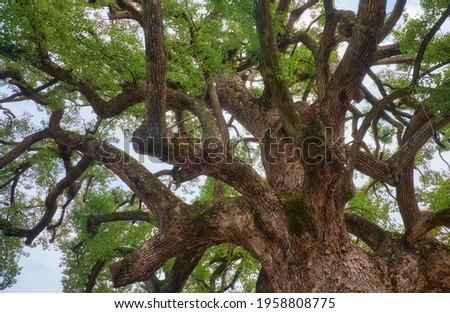 The crown of the old sacred camphor tree (yorishiro),  in Shinto  an object capable of attracting spirits called kami. Hirano Shrine. Kyoto. Japan Zdjęcia stock ©