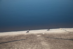 The crows chase each other, on the bank of the blue reservoir, on the concrete pavement.