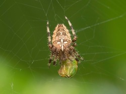 The crusader spider eats a treehopper caught in its spider web. Super macro video of a spider insect. Natural habitat conditions. Blurred green background.
