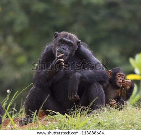 The cub of a chimpanzee sitting and relax in the nature.