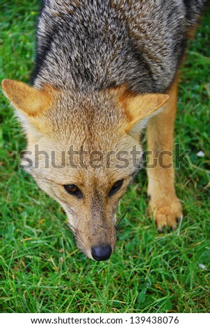 The culpeo (Lycalopex culpaeus), sometimes known as the culpeo zorro or Andean fox (wolf), is a South American species of wild dog. Torres del paine, Patagonia, Chili