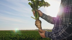 The cultivation of sugar beet. Agronomist holding a root vegetable of sugar beet