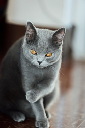 The curious Scottish fold cat ; grey lovely sitting cat