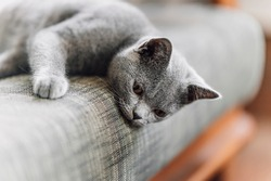 The curious Scottish fold cat ; The grey lovely and lazy cat