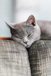The curious Scottish fold cat ; The grey lovely and sleepy cat lay on the top of the sofa