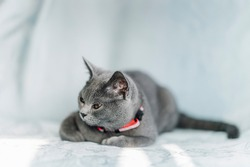 The curious Scottish fold cat ; The grey lovely cat draw by something more interested